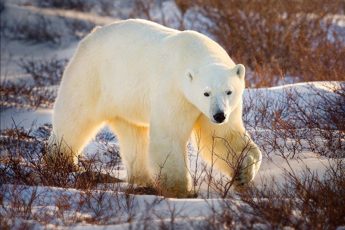 Картинки полярного медведя